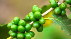 Can a Cup of Green Coffee Help You Lose Weight? You'll Be Surprised!